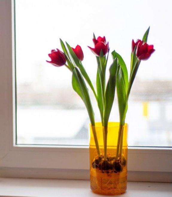 Как вырастить тюльпаны на подоконнике