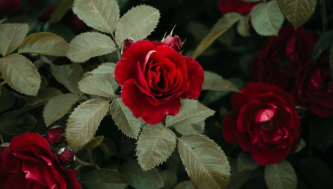 Мы часто хотим дарить розы, но можем только стоять и плакать